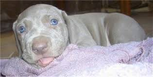 close up the left side of a young blue e weimaraner puppy that is