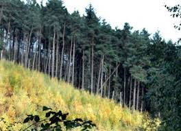 types of conifers. woodland types : coniferous plantations of conifers