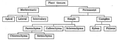 Flow Chart Of Animal Tissue Class 9 Class 9 Science Tissues Free Study Material Cbse Sample