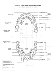 Tooth Numbering Chart Pdf Scope Of Work Template Dental