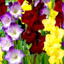 how many colors of gladiolus you know