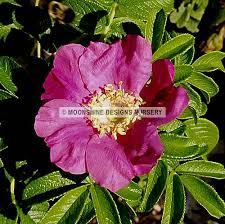 item name red rugosa rose gal sbr item number 76317