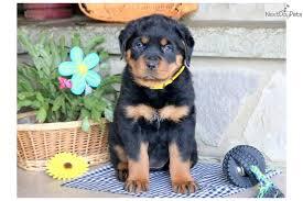 baby rottweiler.  Rottweiler Baby Rottweiler Puppy For Sale Near Lancaster Pennsylvania  00558309b4b1 For Baby R