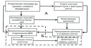 Генетические механизмы старения и гибели клеток Генетический механизм старения и гибели клетки А этап блокирования митоза