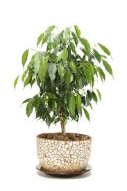 ficus tree care tips for growing ficus indoors