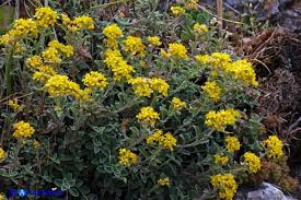 Odontarrhena tavolarae (Alyssum tavolarae) - Alisso di Tavolara ...