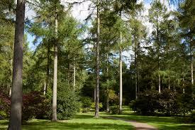 gardening 101 pine tree