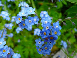 Light Blue Flower Names 40 Types Of Blue Flowers With Pictures Flower Glossary