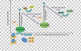 Light Dependent Reactions Photosynthesis Light Independent