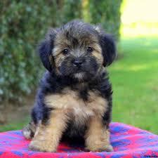 sunshine morkie poo puppy