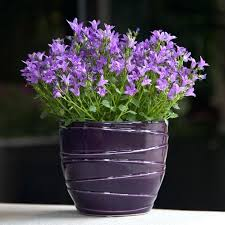 purple house plants flowers in purple majesty container house plants with small purple flowers