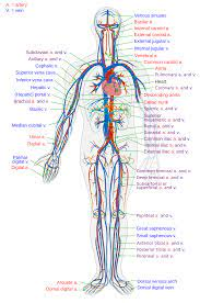 Arteries carry oxygenated blood away from the heart. Blood Vessel Wikipedia