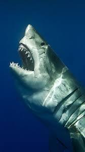 shark wallpaper hd. Contemporary Shark Ocean  On Shark Wallpaper Hd