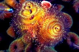 Christmas Tree Worm Facts