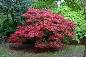 Japanese Maple Growth Chart Photo Autumn Colours Japanese Maple Img 0341