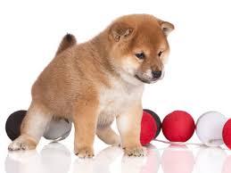 Shiba Inu Growth Chart Shiba Inu Puppy Life Stages And Development My First Shiba Inu