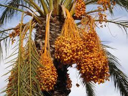 Fruit Palm TreePalm Tree Orange Fruit