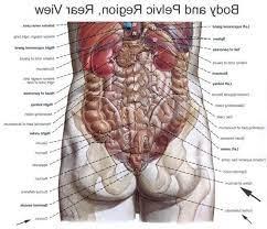 Organs in the human body what is an organ? Human Anatomy Back View Koibana Info Body Organs Diagram Human Body Anatomy Human Body Organs