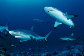 meet the world s highest concentration of gray reef sharks