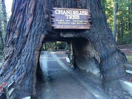 the world famous chandelier tree