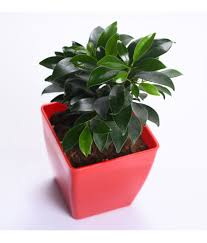 Sheel Greens Ficus Indoor Indoor Plant Sheel Greens Ficus Indoor Indoor  Plant ...