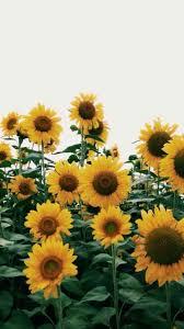 ✓[50+] Yellow Aesthetic Sunflowers HD ...