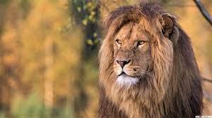 Lion king HD wallpaper download