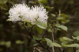 white witch hazel flowers flowers