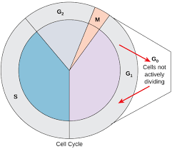 Cell Cycle Pie Chart 6 2 The Cell Cycle Concepts Of Biology 1st Canadian Edition