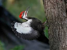 Pileated Woodpecker Identification All About Birds Cornell