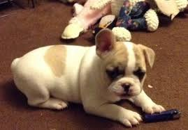 french bulldog puppies choin bloodlines 14 weeks old california los angeles westside