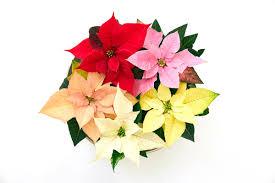 Kleine Weihnachtssternkunde Was Die Blätter über Einen