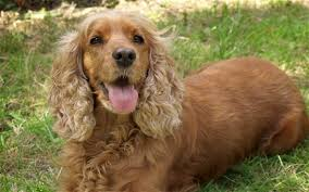 he American Cocker Spaniel All you need to know.by Raneen Mallak