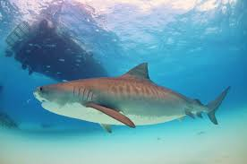 Tiger Shark Classification Chart Tiger Shark Classification