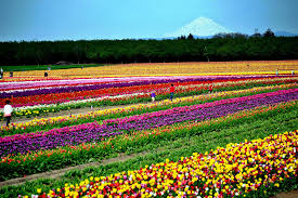the skagit valley tulip festival as seen in this file photo runs during the