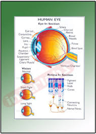 Educational Charts Manufacturers In India Human Eye Educational Charts Manufacturer Exporters From