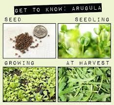 when to plant arugula how to grow arugula northwest info on this blog how deep to when to plant arugula