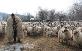 Image result for cioban cu oi poze