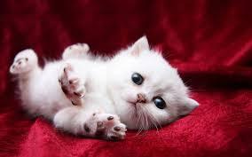 beautiful white cats wallpaper. Beautiful Wallpaper White Cats Are Beautiful 30 Photos Inside Beautiful Cats Wallpaper L