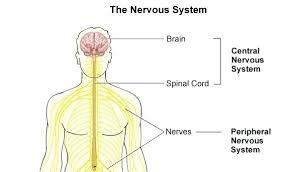 Central Nervous System Vs Peripheral Nervous System Venn Diagram Central Nervous System Diagram For Kids Michaelhannan Co