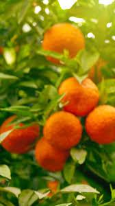 fruit wallpaper iphone. Exellent Iphone Orange Fruit 2 IPhone 6 Wallpapers With Fruit Wallpaper Iphone
