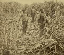 Image result for sugar was introduced as a very successful cash crop.