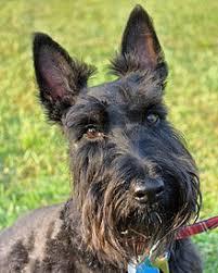 scottish terrier mix. Interesting Terrier Scottish Terrier In Mix