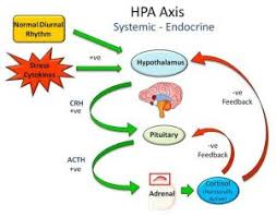 Hpa Axis Hpa Axis Jenn Gibbons
