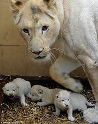 newborn white lion cubs. Fine Newborn Motheru0027s Pride White Lion Azira Is Pictured With Her Three Beautiful  Newborn Cubs  AFP Getty Images Intended Newborn Lion Cubs