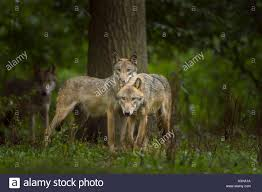 gray wolf pack in forest. Wonderful Forest European Gray Wolf Canis Lupus Lupus Germany  Stock Image With Wolf Pack In Forest R
