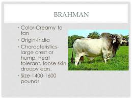 It is one of the principal zebu or bos indicus breeds in india, and has been used locally in the improvement of other breeds. Breeds Origins Colors Characteristics Beef Cattle Breeds Ppt Download