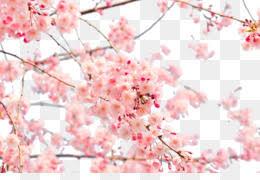 an cherry blossom 4k resolution wallpaper anese cherry blossom