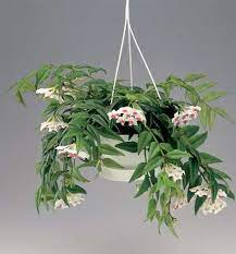 Se não, fica lindamente pendente (em vasos suspensos ou jardins de sacada). Mudas De Flor De Cera Hoya Bella Lindissima Planta Shopping Mjba