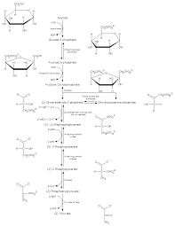 Glycolysis Definition Function Steps Products And Regulation In